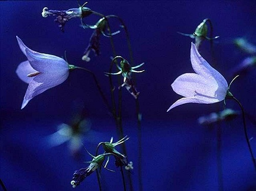 A szentlélek jelképe: harangvirág