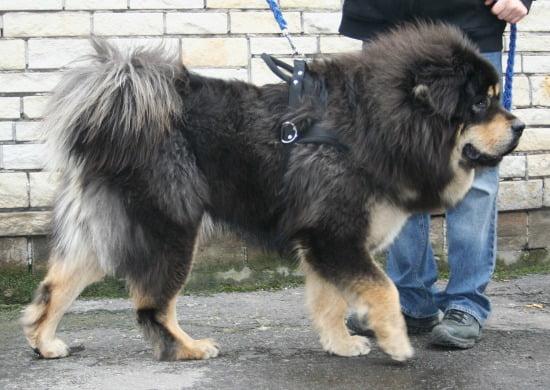 tibeti-masztiff