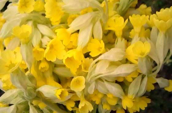 Kankalin – a tavasz mézillatú gyógyfüve