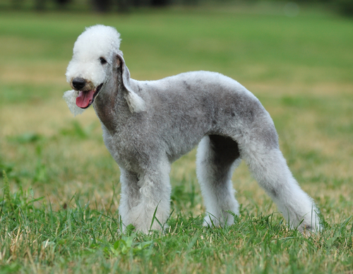 Bedlington-Terrier1
