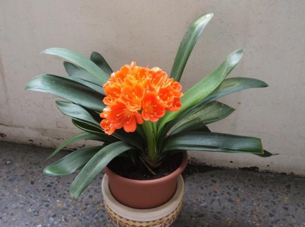 Ártó szobanövények – ezekkel a cserepes virágokkal ne éljünk egy lakásban
