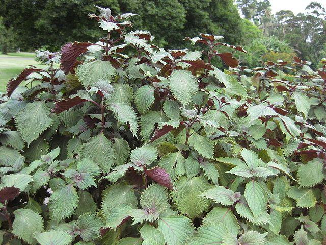 Egy kevésbé ismert gyógynövény, amely segít az allergia elleni küzdelemben