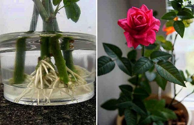 Könnyen meggyökereztethetjük az ajándékba kapott, vázába tett rózsát!