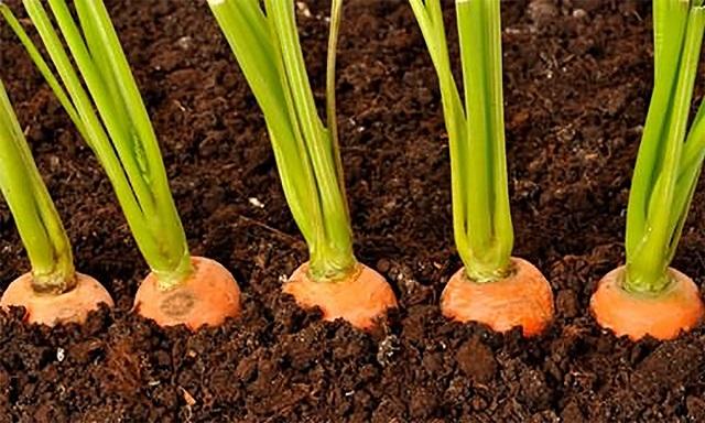 Így ültessük el a sárgarépát, hogy ne kelljen foglalkoznunk az egyelésükkel!
