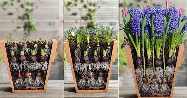 Ez a kertész furcsa módon ültette el a virággumókat. A következő módszert imádni fogod!