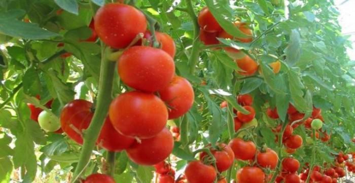 Így ültesd a paradicsomot, hogy gazdag termésed legyen!