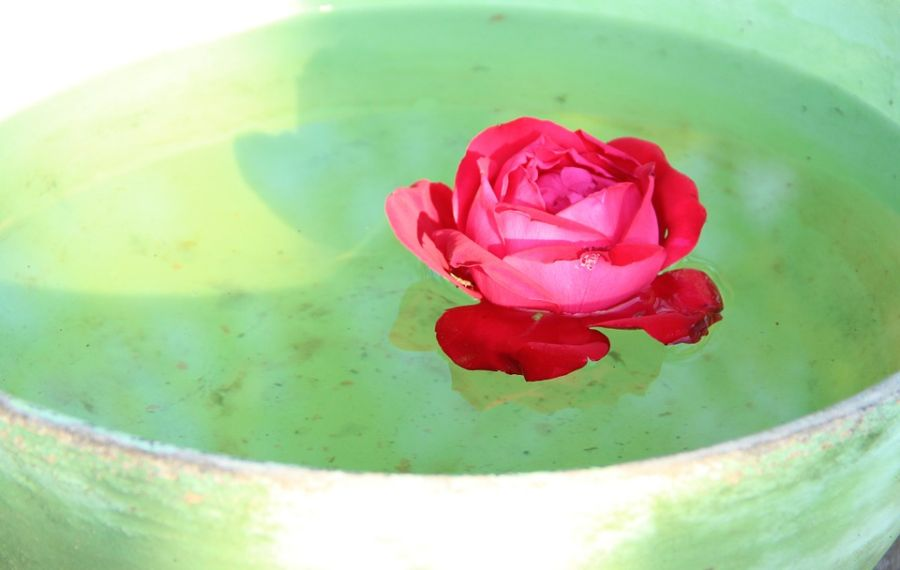 Miért jó, ha a lakásunkban mindig van egy tál víz, amibe rózsavirágot teszünk?