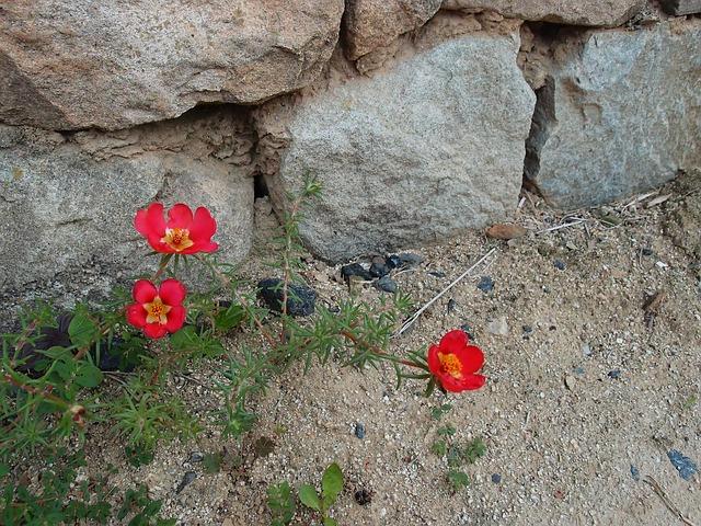 Ez a csodaszép növény ott is remekül érzi magát, ahol még a gyom se nő!