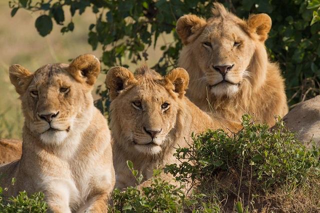Egy 12 éves kislány elképesztő története, akit oroszlánok mentettek meg