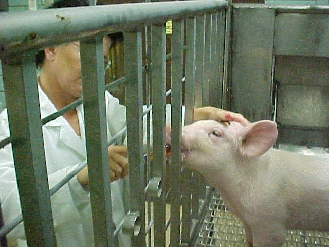 Genetikailag módosítottak sertéseket, hogy szerveik kompatibilisek legyenek az emberéhez