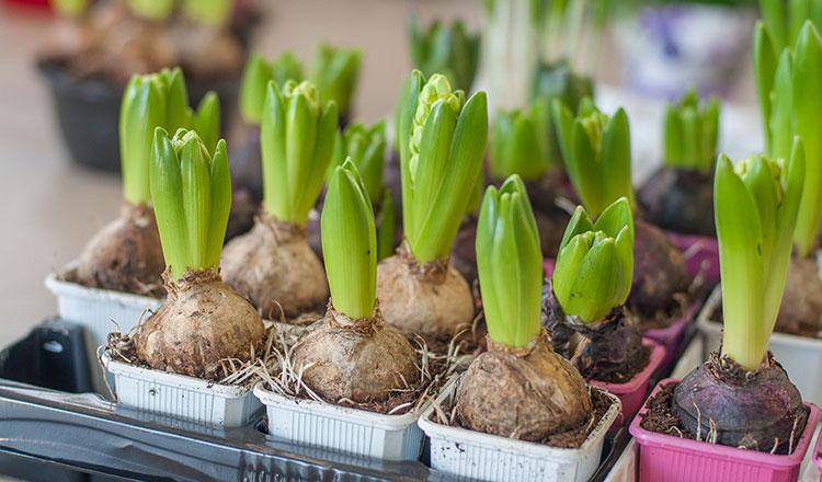 Így gondozd a cserepes jácintot, hogy egész évben élvezhesd a szépségét!