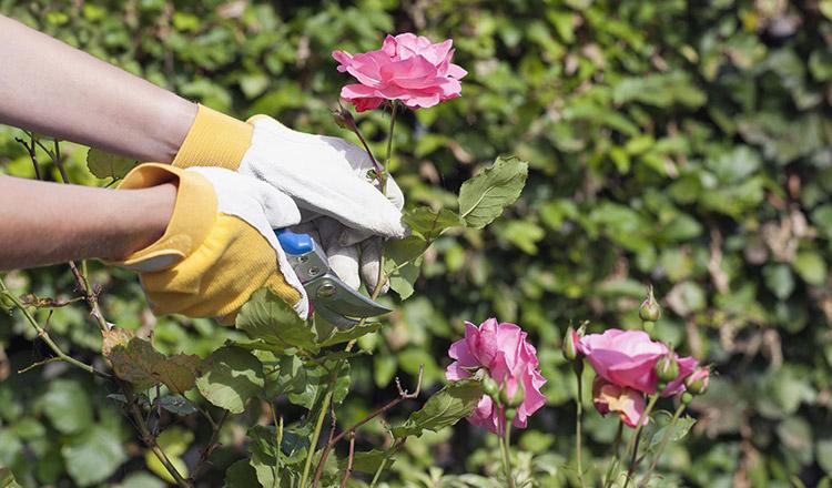 Így metszd vissza helyesen tavasszal a rózsáidat!