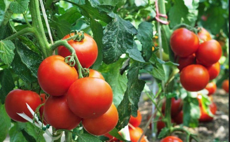 6 természetes paradicsomvédő módszer, amit minden kertésznek ismerni kell!