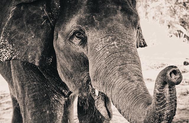 A fogságban élő elefántok meséje akár a mi élettörténetünk is lehetne!