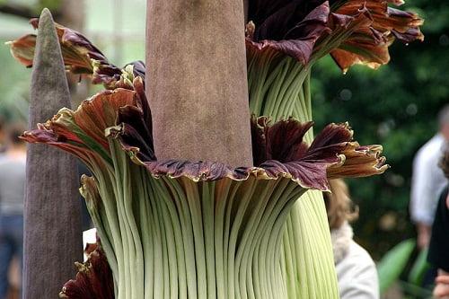 A halál virága: Amorphophallus titanum (óriáskontyvirág/titánbuzogány)