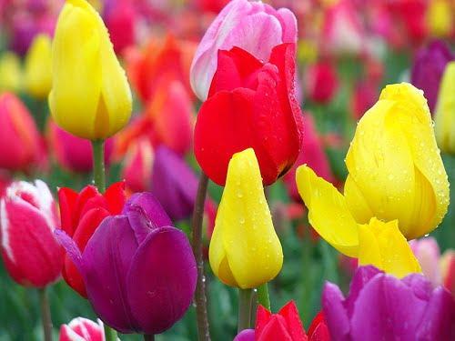 Te vagy a tökéletes szerető: Tulipán