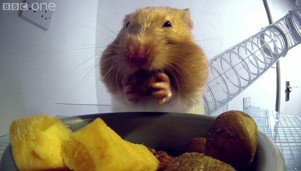 Tudod, mennyi étel fér egy hörcsögbe? Íme egy döbbenetes VIDEÓ!