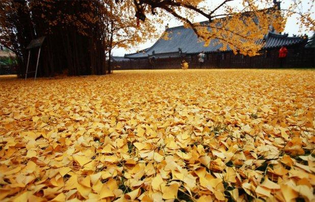 Így néz ki egy 1.400 éves fa. Minden ősszel csoda történik körülötte!