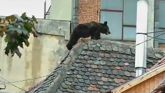 Egész Erdélyt és fél Európát sokkolta az ártatlan medve kivégzése Szebenben!