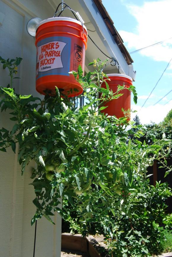 Így nevelj a balkonon paradicsomot vödörben!