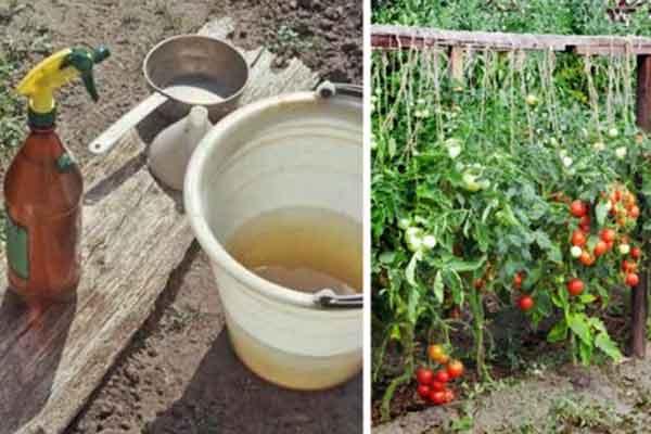 Ezzel a keverékkel permetezte be a paradicsomot és uborkát, többé nem kell aggódnod a betegségek, kártevők miatt!
