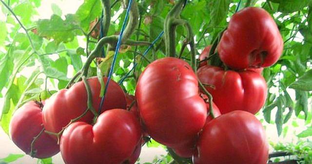 Ha ezzel a különleges keverékkel táplálod a paradicsomokat, bő termésre számíthatsz!