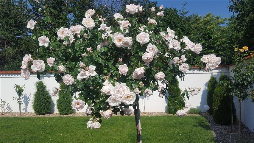 Ha szeretnéd, hogy egész nyáron virágozzanak a rózsáid, próbáld ki ezt a 5 trükköt!