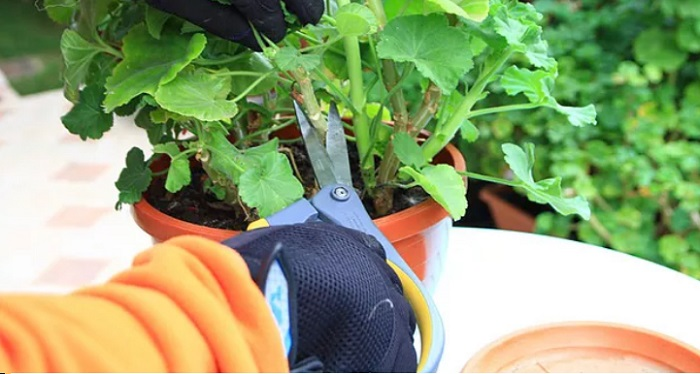 Így teleltesd át a muskátlit, hogy az már tavasszal bimbózni kezdjen!