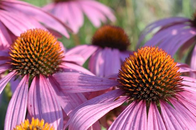 Echinaceea - a természetes antibiotikum, amely 10 féle betegséget gyógyít