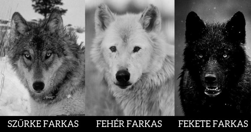 Válassz egy farkast a három közül és mi lerántjuk a leplet rejtett személyiségedről!