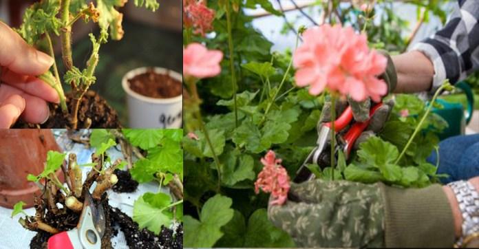 Így kell átteleltetni a muskátlit, hogy tavasszal ismét virágba boruljon