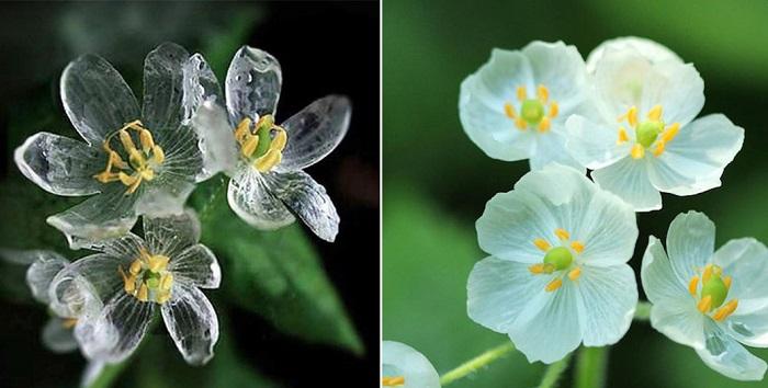 Csontvázvirág: a virág, ami átlátszó lesz, ha vízzel érintkezik