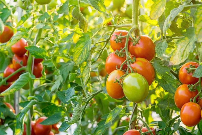Természetes táp, melyet a paradicsomok bő terméssel hálálnak meg!
