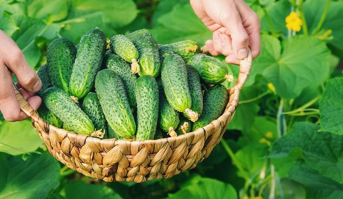 Ha megfogadod az idősek tanácsát, sokkal bőségesebb lesz az uborkatermésed ebben az évben!