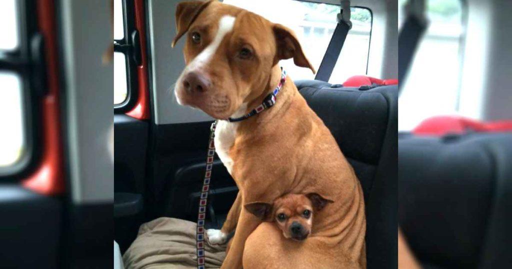 A pitbull nem hajlandó elhagyni a menhelyet a csivava nélkül